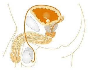 penisin genel yapısı